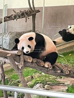 眠そうなパンダの写真・画像素材[4625219]