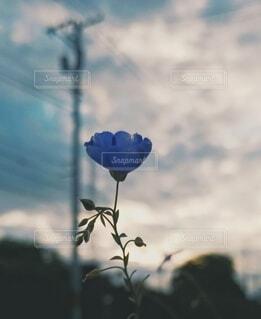 ブルーフラックスの写真・画像素材[4629124]