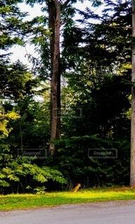 松の木の前で佇む野生のきつねの写真・画像素材[4769614]