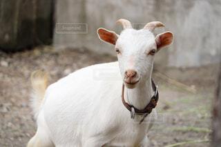 動物のクローズアップの写真・画像素材[4628712]
