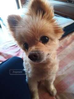 甘えた目で飼い主をみている犬の写真・画像素材[4630760]