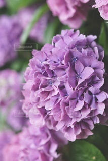 道端の紫陽花の写真・画像素材[4636096]