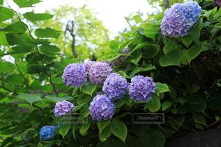 定山渓の紫陽花の写真・画像素材[4639022]