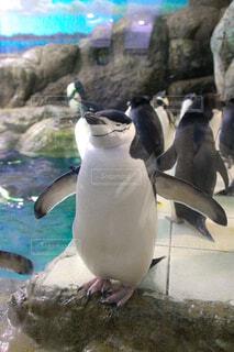 つぶらな瞳のペンギンの写真・画像素材[4638559]