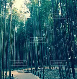 嵐山・竹林の道の写真・画像素材[4656625]
