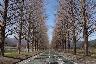 メタセコイア並木道の写真・画像素材[1190666]