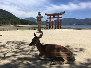 厳島神社 宮島 鹿の写真・画像素材[886790]