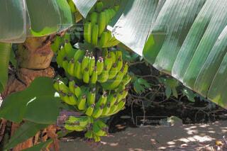 島バナナの木の写真・画像素材[4650083]