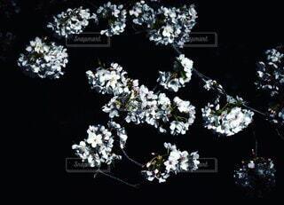 闇に浮かぶ桜の写真・画像素材[4648989]