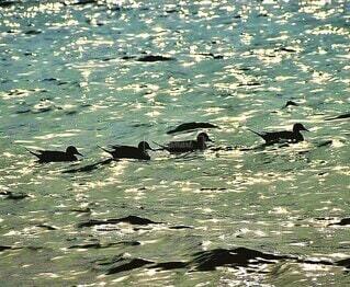 鴨の群れが海面で泳いでいるの写真・画像素材[4653695]