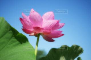 【古代蓮の里】蓮の花の写真・画像素材[4662434]