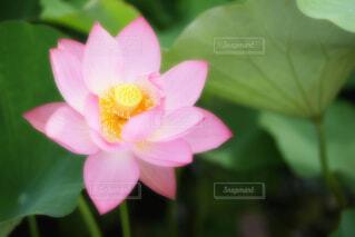 【古代蓮の里】蓮の花の写真・画像素材[4664686]