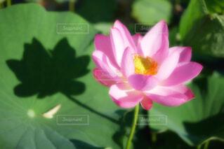 【古代蓮の里】蓮の花の写真・画像素材[4664687]