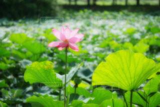 【古代蓮の里】蓮の花の写真・画像素材[4667396]