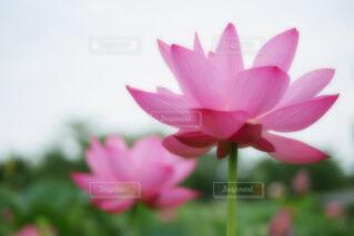 【古代蓮の里】蓮の花の写真・画像素材[4667395]