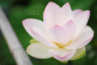 【古代蓮の里】蓮の花の写真・画像素材[4670406]