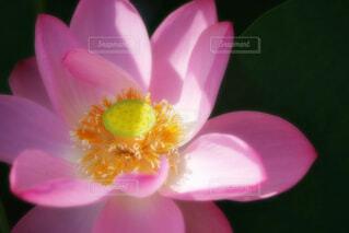【古代蓮の里】蓮の花の写真・画像素材[4670407]