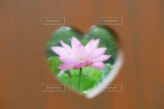 【古代蓮の里】蓮の花の写真・画像素材[4672758]