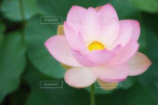 【古代蓮の里】蓮の花の写真・画像素材[4675686]