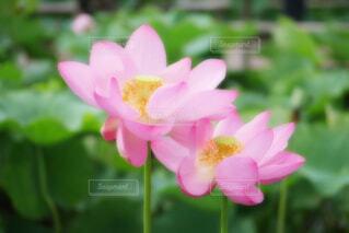 【古代蓮の里】蓮の花の写真・画像素材[4675687]