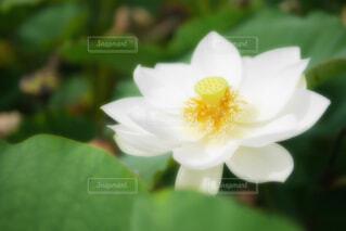 【古代蓮の里】蓮の花の写真・画像素材[4678683]