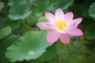 【古代蓮の里】蓮の花の写真・画像素材[4678684]
