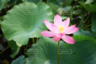 【古代蓮の里】蓮の花の写真・画像素材[4681083]