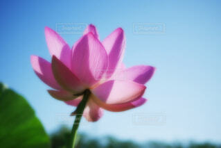 【古代蓮の里】蓮の花の写真・画像素材[4681080]
