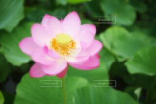 【古代蓮の里】蓮の花の写真・画像素材[4681082]