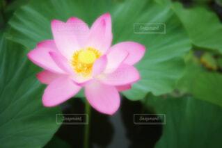 【古代蓮の里】蓮の花の写真・画像素材[4681081]