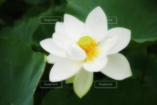 【古代蓮の里】蓮の花の写真・画像素材[4681085]