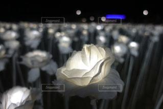 10000本の薔薇の写真・画像素材[1171565]