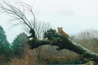ライオンの写真・画像素材[1756980]