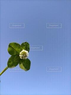 四葉のクローバーに白詰草をアレンジの写真・画像素材[4660942]
