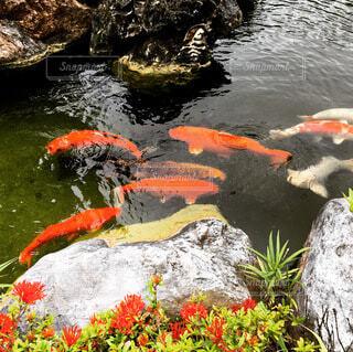池を泳いでいる鯉の宝石たちの写真・画像素材[4674982]