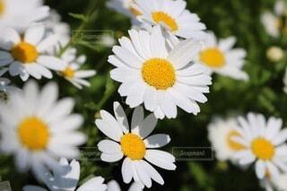 道端で撮影したすてきなお花の写真・画像素材[4663878]