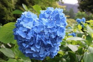 ブルーの紫陽花ハートの写真・画像素材[4671864]
