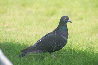 立つ鳩の写真・画像素材[4665647]
