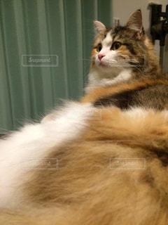 猫の写真・画像素材[213127]