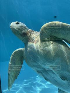 海亀の写真・画像素材[4665630]