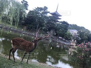 猿沢池から眺める-奈良の鹿と興福寺五重塔-の写真・画像素材[4668349]