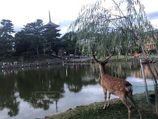 五重塔を眺める鹿の風景の写真・画像素材[4668350]