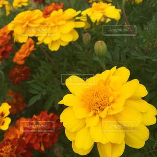 花の写真・画像素材[243220]