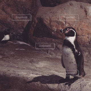 岩に立っているペンギンの写真・画像素材[751178]