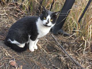 乾いた草の上に座っている猫の写真・画像素材[1733310]