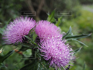 近くに紫の花のアップの写真・画像素材[2081828]