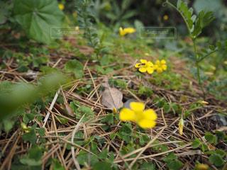 草の中の黄色い花の写真・画像素材[2081829]
