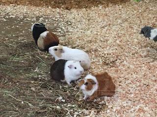 草の上に横たわる羊の群しの写真・画像素材[2504374]