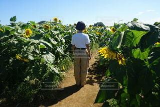 向日葵畑の写真・画像素材[4771459]