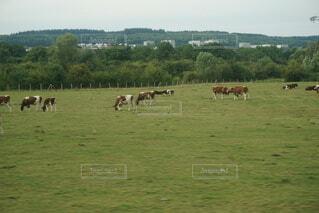 緑豊かな畑で放牧する牛の群れの写真・画像素材[4771455]